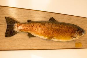 11 kilo, 7 hekto och 28 gram vägde den öring som ett fiskande par kom in och ville sälja, när Per-Åke och Evert hade butik i Funäsdalen. Uppståndelsen kring jättefisken blev en marknadsföringssuccé för rökeriet som valde att inte tillaga fisken. Nu hänger en avgjutning av jätteöringen i butiken.