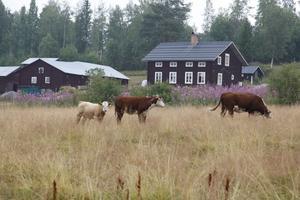 Några av korna från Härjeåsjöns lantgård har fått en fristad i Ytterberg.
