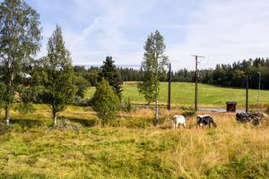 Erikas fjällkor på bete i Medskogen. Här planerar hon för ett nytt mejeri och ostproduktion.  I rekoringen kommer det bland annat att säljas kött, grönsaker och ägg från producenter i Härjedalen.