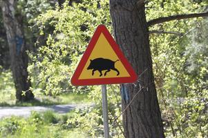 Den snabba ökningen av vildsvinsstammen ställer till problem. Inte minst för trafiken där svåra krockar med vildsvin blir allt vanligare. Foto: Fredrik Sandberg/TT