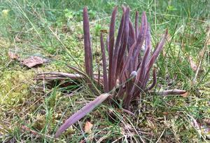 Den violetta Luddfingersvampen blir när den blir äldre ljust gråbrun.
