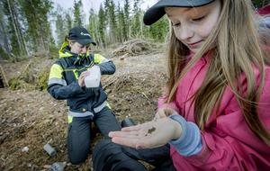 Skogsstyrelsen har noga följt barkborrarnas utveckling under året. Här är det Susanna Ek, skogskonsulent, som vittjar en provfälla tillsammans med dottern Lovisa. /Arkivfoto