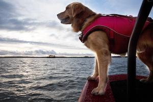 Det kan vara ett kallt och blött uppdrag att vara tjänstehund inom sjöräddningen när höga vågor slår över båten. Då använder Bruse även ett värmetäcke.