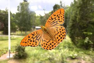 Sommerfugl – vackert namn på vacker insekt tycker fotografen Björn Linder.