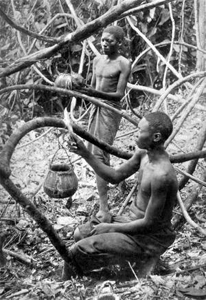 Kongoleser samlar gummi i Kongostaten 1895. Foto: Okänd