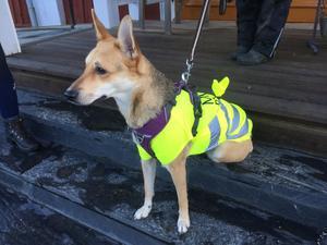 Hunden Lola, 1,5 år, har fått en Missing people-väst på sig när hon söker.