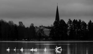 En flock sångsvanar rastar på Noren i gryningen, vinnare av Månadens bild november 2017. Bild: Gunnar Meller