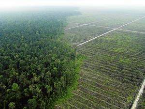 Palmoljeplantage.