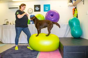 Labradoren Ninja är duktig på att hålla balansen och jobbar bra ihop med matte.