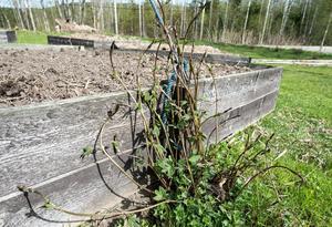Kajsa har mängder av humle i sin trädgård och tänker plantera sorter som ölbryggare gillar.