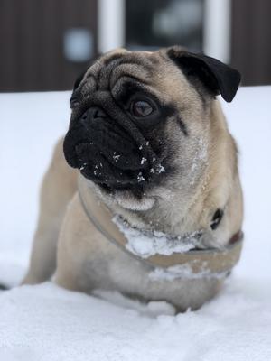 Om bilden: Mops Egon älskar snö & bilden är tagen i sälen  . Foto: Carola Eriksson