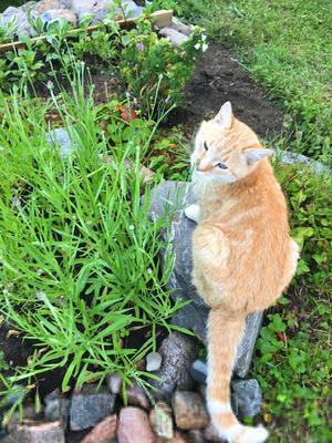 497) Här är vår katt Svenne som älskar att vara ute i trädgården, där är han kung. Foto: Joar Anteskog