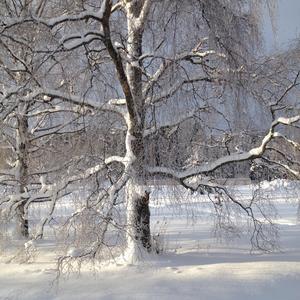 Snön vilar tungt på träden. Foto: Tina Malmberg