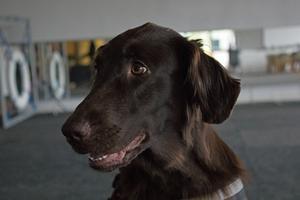 Flatcoated retrievern Java, Västmanlands första skogsbrandhund.
