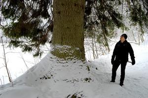 Just den här granen fälldes inte, men cirka 600 andra har nyss tagits ner i naturreservatet, berättar Torbjörn Murars.