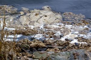 Oljesanering i hamnbassängen efter Stora Ensos utsläpp av tallbeckolja.