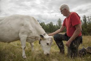 Om det går tänker Karl-Olof Sundeberg stanna längre med korna på fäbodvallen. På så sätt sparar han lite av vinterfodret om korna kan beta i skogen en eller två veckor längre.