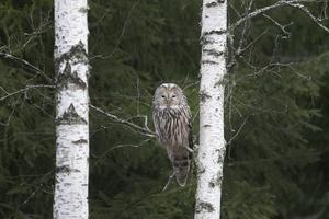 """Slagugglan längs vägen genom Bovallsskogen i februari. """"Den tittade på mig med orörligt ansikte, den låtsades inte om mig."""" Foto: Anders Lif"""