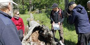 Det urgamla fallna trädet är boplats för den mycket sällsynta svarta guldbaggen.