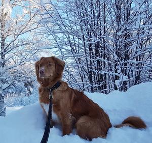 Om bilden: Ferox 1,5 år bilden är tagen i kolsätt Härjedalen i påskas när det fanns snö. Foto: Lis Bandgren