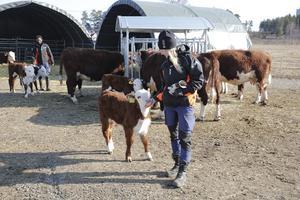 Samuel Haile och Ann Eriksson basar just nu över sjutton vuxna djur och nio kalvar men en till kalv gör entré vilken dag som helst.