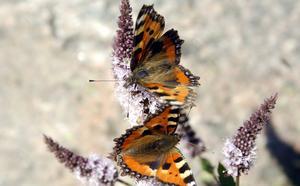 Nässelfjärilar. Foto: Hasse Holmberg, TT