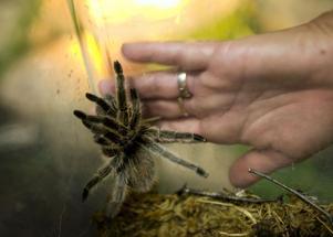 Att känna på glaset till en spindel kan vara ett bra sätt att avdramatisera för en person som är rädd för spindlar. Bild: Björn Larsson Rosvall/TT