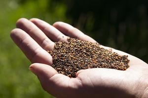 Honungsört lockar också till sig många bin, som hjälper till att pollinera odlingarna.