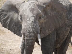 Elefanter i farozonen.