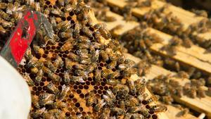 Biet som Lennart Wernersson pekar på med sitt verktyg är drottningbiet. Det är det bi som alla andra bin värnar om. Det är nämligen hon som lägger alla äggen så att de kan bli fler.