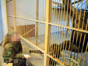 Genom åren har det blivit ett stort slitage på schimpanshuset. Delvis beroende på kraven om hög luftfuktighet där inne.