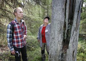 Den här  flera hundra år gamla stubben behövs för skogens insekter,  påpekar Ingemar Södergren, Rädda Skogen, och Monika Norberg, Naturskyddsföreningen.