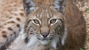 Många lodjur dör av orsaker som inte är naturliga men forskning på om illegal jakt ligger bakom saknas. Foto Jonas Ekströmer / TT