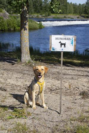 Labradoren Eddie, 11 månader gammal, är än så länge inte så förtjust i att bada men uppskattar att få följa med familjen till stranden.