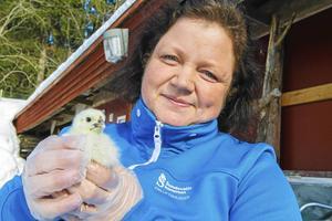 Museibonden Camilla Johansson välkomnar våren på Norra berget. Kycklingarna är ett säkert vårtecken.