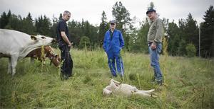 Grannen Ola Östergren, Lars Mittjas och Sone Persson vid ett av de rivna fåren.