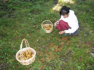 Det är så mycket svamp att det bara är att ställa korgen på marken så hoppar den nästan i själv!