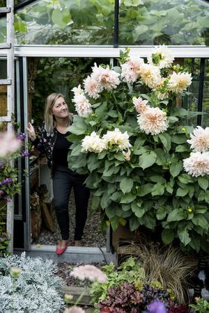 Utanför växthuset blommar trädgårdens verkliga instagramstjärna för fullt, den magnifika dahlian Café au lait.