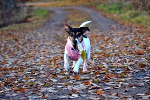 Hunden Lollipop springer så att öronen flyger åt olika håll i höstvädret!