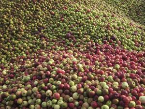 Till en flaska Calvados behövs tjugosju kilo äpplen.