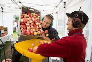 Daniel och David Lundqvist häller ner äpplen i fruktkvarnen.