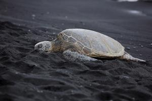 Vulkanstranden Punalu'u Beach på Hawaii är helt svart. Här lägger den gröna havssköldpaddan ägg.