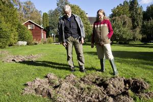Uppbökad gräsmatta. Anders Bjerneld och Gunlög Eliasson betraktar förödelsen i sin trädgård. På flera ställen har vildsvin under nattliga räder bökat upp gräsmattan i sin jakt på mat.Foto: Kenneth Hudd