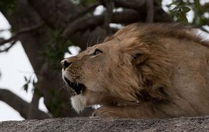 Då lejonet ryter hörs det långt.