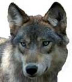 Den här vargen bor dock på Skansen.