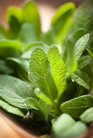Salvian är lite bitter och inte så god i färskt tillstånd, men tillagar man den med lite fett blommar den ut i sin fulla smakprakt.