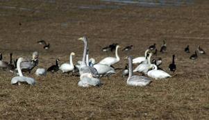 Säker. I år kan svanar, gäss och tranor känna sig säkra i Södersätra. De tidigare livsfarliga elledningarna har grävts ner.