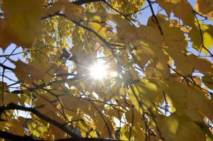 På hösten är lövträden onekligen vackra, men skulle det vara bättre med barrträd som är vackra även på vintern?