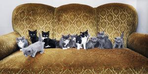 Tretton kattungar ställer nyfiket upp sig för fotografering hemma hos Annki Olsson i Kilafors.