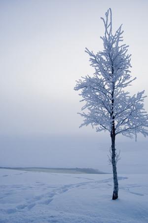 Frostigt träd, kortet är taget på gångbron in mot Östersund, vy över Storsjön.